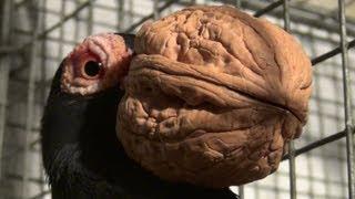 preview picture of video 'Le Pigeon Bec de Noix ( Pelican Carrier )'