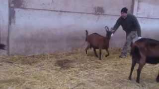 preview picture of video 'Nascita di un capretto camosciato delle alpi (parte 1) - La Fattoria del Parco -'