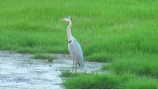 Grey Heron in Bharatpur, Rajasthan