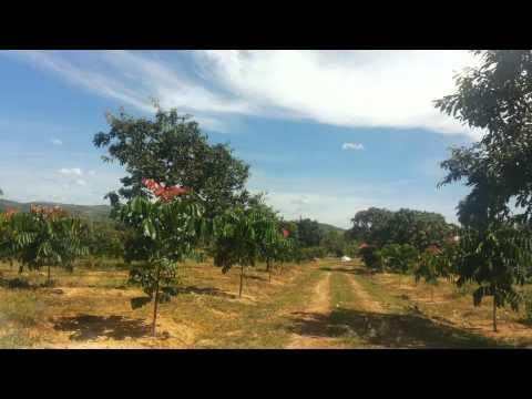 Plantação de Mógno em Biquinhas - Chegada