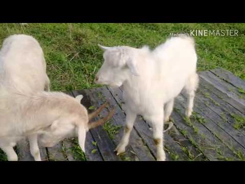 Котаться с козами по 🏙 городу 😂 😂 😂