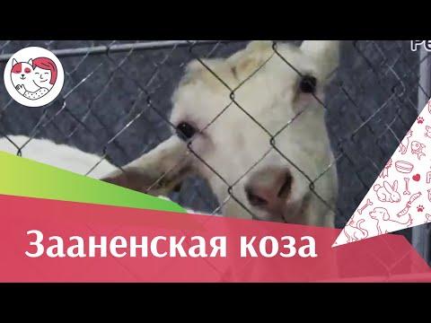 Зааненская коза. Особенности. Уход