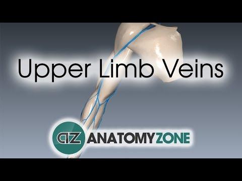 Upper Limb Veins