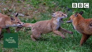 Our spring wildlife webcams live! 🐤🦊🐿 - Tue 2 June - Springwatch - BBC