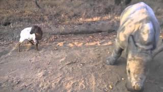 Смотреть онлайн Ягненок подружился с носорогом в Африке