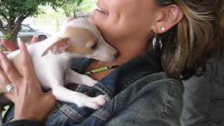 Getting Italian Greyhound Puppy