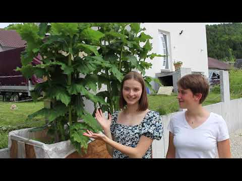 Silphium perfoliatum – a newcomer for an ecologically sustainable energy agriculture