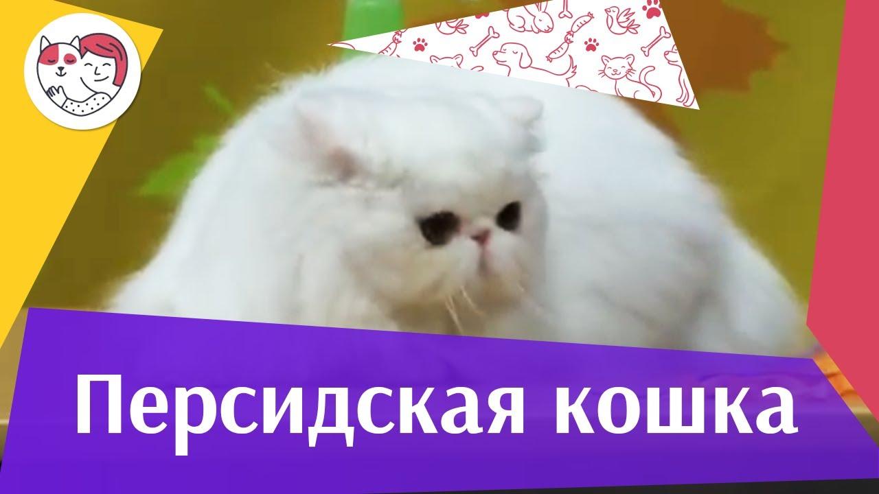 Персидская кошка на ilike.pet