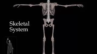 Skeletal System - Bones Only