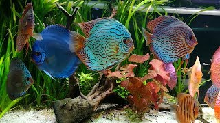 Stendker Discus Tank. Amazing Collection Owned By Vittorio Fuiano (Italy)
