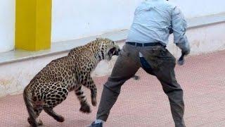 Смотреть онлайн Леопард атаковал людей и сбежал из вольера