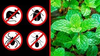 Evinizde Bu Bitki Varsa, Çevrenizde Bir Daha Asla Fare, Örümcek Ve Karınca Görmeyeceksiniz