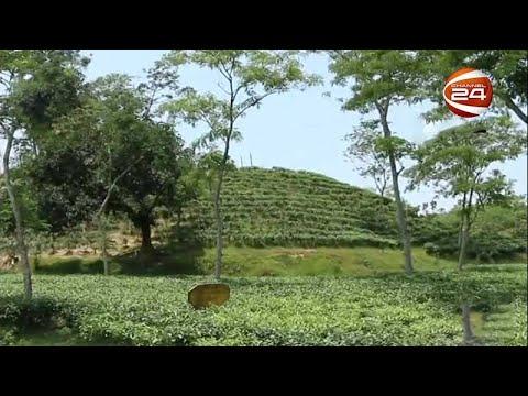 চা শিল্পের নতুন সম্ভাবনা পার্বত্য চট্টগ্রাম