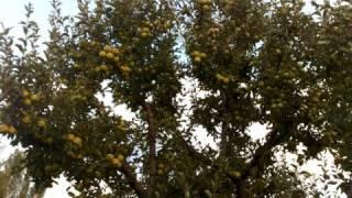 preview picture of video 'CiVANDERE KÖYÜ MANZARA MEYVE AGACLARI'
