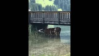 Abkühlung der Kühe unter der Brücke am Vilsalpsee im Tannheimer Tal - Österreich