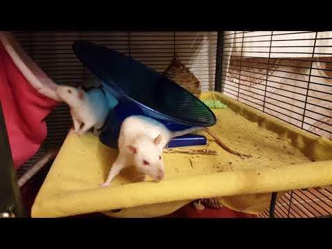 Harmonica, an adoptable Rat in Saint Paul, MN