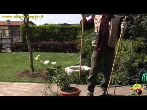 coltivare un rampicante in vaso
