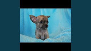 Big Chihuahua