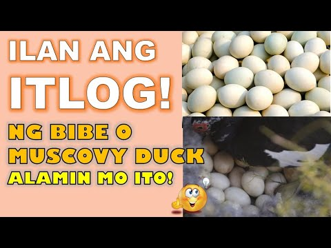 , title : 'HOW MANY EGGS CAN DUCK LAY? 😍😲