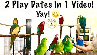 Two Parrot Play Dates & Free Flight Days || Mikey The Macaw