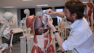 Pleura (anatomy)