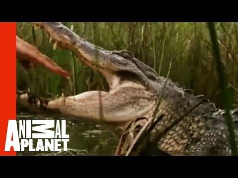 Tay không bắt cá sấu đói. Ai liều bằng :-s