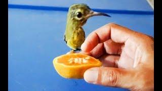 Hummingbird Food | Feeding Orange and Larvae to Kobi