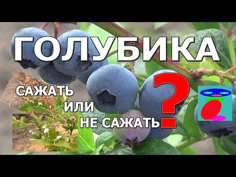 Голубика садовая. Описание и выращивание.