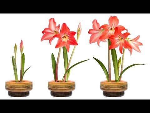 АМАРИЛЛИС БЕЛЛАДОННА – луковичное растение. Уход и разведение в домашних условиях