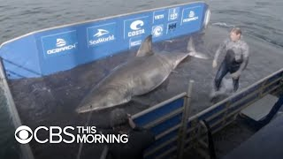 """Massive, 50-year-old great white shark nicknamed """"Queen of the Ocean"""""""