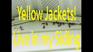 Hidden Yellow Jacket Nest in Siding