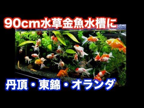 【金魚水槽】丹頂・東錦・オランダを90cm水草金魚水槽へ【goldfish】【金魚】