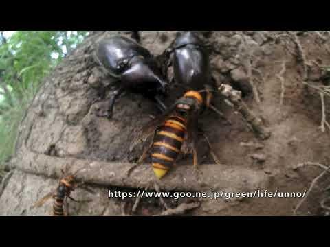 カブトムシとオオスズメバチ樹液を巡る争い RHINOCEROS BEETLE VS HORNET