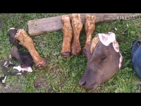 Из 🍗 ножки коровы будем готовить дангича