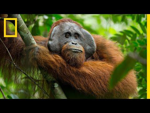 The Secret Life of Orangutans