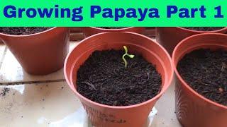 Growing Papaya From Seed Part 1 - UK