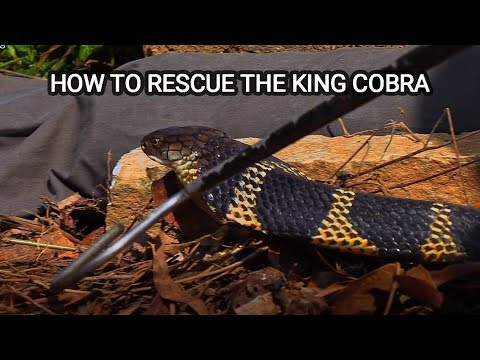 Ajay Giri speaks about his work with King cobras in Agumbe, India