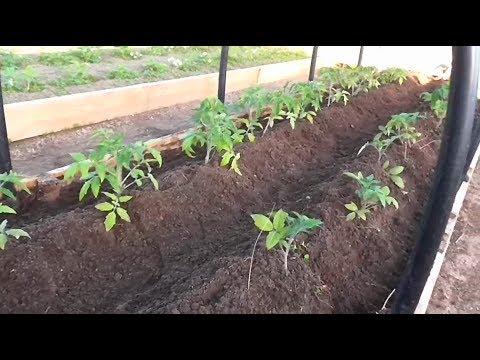 Первая подкормка и окучивание томатов открытого грунта. Для чего нужно окучивание томатов