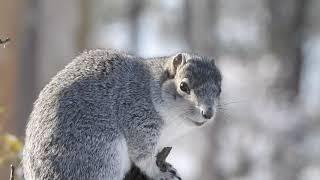 Delmarva Fox Squirrel at Blackwater NWR, December 2017