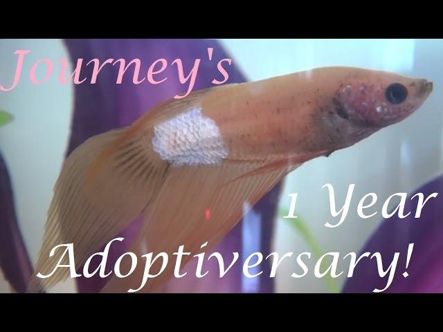 Journey's 1 Year Adoptiversary! | Betta Backstory