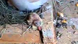 Новоизлюпени гугутки.New baby born doves