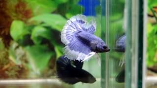 Un par de HM Azules