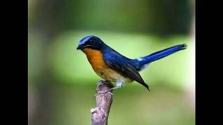 Download Suara Burung Tledekan sulingan pikat Mp3
