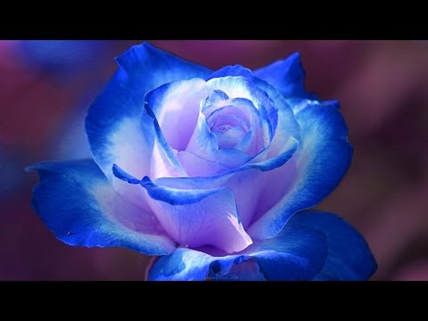 mp4 Beauty Rose Flowers, download Beauty Rose Flowers video klip Beauty Rose Flowers