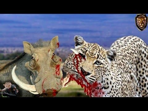 Leopardo melhor Predador vs javali , incrível  Luta de animais selvagens