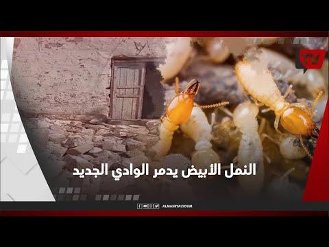 النمل الأبيض يدمر عشرات المنازل في الوادي الجديد