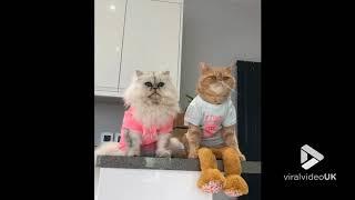 animale doua pisici tari