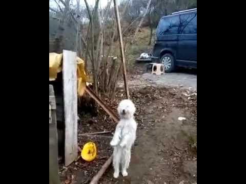 Μοναδικό: Σκύλος χορεύει ποντιακά!