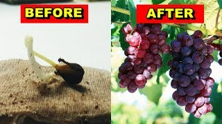 Cara Semai Dan Menanam Anggur Dar Biji Anti Gagal