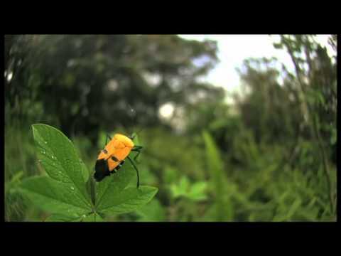 ジンメンカメムシの飛翔